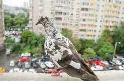 A pidgeon's urban perspective. Pidgeon looking over a street from a high floor of a building royalty free stock images