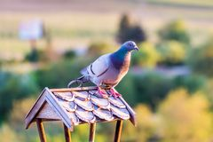 Pidgeon is sittin on the roof of the birdfeeder and look around. Green nature background with trees. Pidgeon is sittin on the roof of the birdfeeder and look stock photos