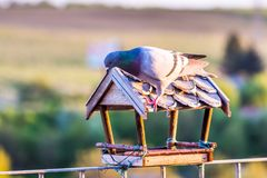 Pidgeon is sittin on the roof of the birdfeeder and look around. Green nature background with trees. Pidgeon is sittin on the roof of the birdfeeder and look stock image