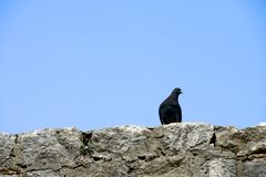Pidgeon standing on a stone wall. Close up of a pidgeon standing on a stone wall stock photos