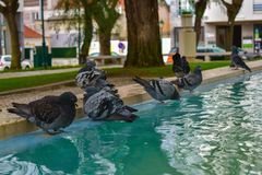 Pidgeons που παίρνει ένα λουτρό Στοκ Φωτογραφίες
