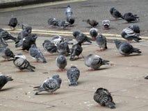 Pidgeons в квадрате Лондона Стоковое Фото