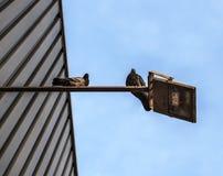 2 pidgeons на лампе Стоковое фото RF