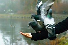 Pidgeons на руке Стоковое Фото