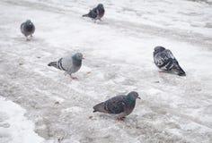 Pidgeons на снеге и льде во время зимы Стоковое Изображение