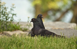 2 pidgeons на травянистой земле Стоковая Фотография