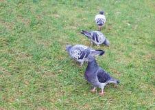 Pidgeons сидя на траве Стоковые Фотографии RF