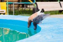 2 pidgeons Стоковые Изображения RF