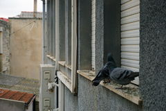 Pidgeons Стоковое Фото
