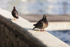 Pidgeons in the city Royalty Free Stock Photography