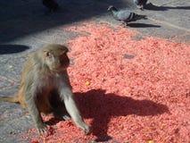 Pidgeons im Affe-Tempel Stockfotos