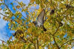 Pidgeons mangeant des baies d'arbre Photos libres de droits