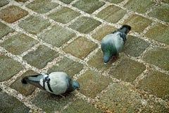 Pidgeons urbanos que escogen la comida en los agujeros del pavimento de la calle Imágenes de archivo libres de regalías