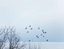 Pidgeons volant ensemble Photo stock