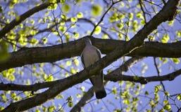 Pidgin, der in einem Baum sitzt Stockbilder