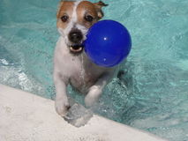 PIDI Goes for the Ball. PIDI loves swimming and he loves to dive for his ball Royalty Free Stock Photo