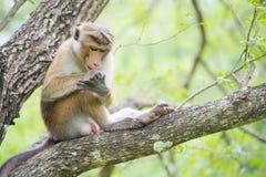 Pidocchi di raccolto della scimmia di macaco del Toque mentre sedendosi su un albero in Na Immagini Stock