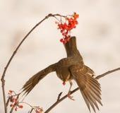 Pieśniowy drozd chwyci Rowan jagody Fotografia Stock