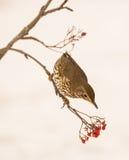 Pieśniowy drozd z Rowan jagodami Fotografia Royalty Free