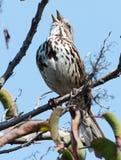 Pieśniowy wróbel w drzewnym śpiewie Zdjęcie Stock