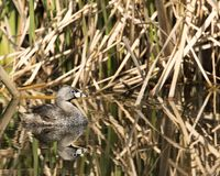 Pie-billed grebe reflection royalty free stock image
