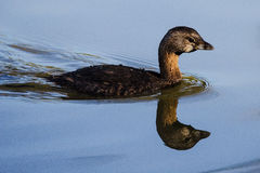 Pie-billed Grebe Royalty Free Stock Images