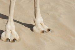 Pie del camello Foto de archivo