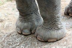 Pie del elefante asiático. Fotos de archivo