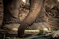 Pie del elefante s atado a una cadena Foto de archivo