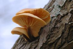 Pie del terciopelo (velutipes del Flammulina) Imagenes de archivo