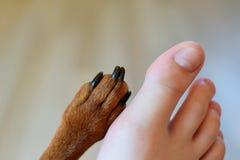 Pie derecho del ` s del adolescente y pata del perro Imagen de archivo