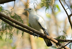 Pie Imperial Pigeon (Ducula bicolor) Stock Photos