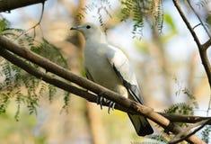 Pie Imperial Pigeon (Ducula bicolor) Stock Photos