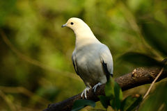 Pie Imperial Pigeon (Ducula bicolor) Royalty Free Stock Image