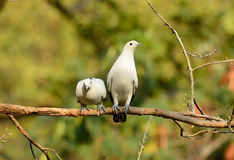 Pie Imperial Pigeon (Ducula bicolor) Stock Photo