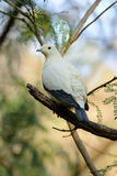 Pie Imperial Pigeon (Ducula bicolor) Royalty Free Stock Images