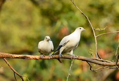 Pie Imperial Pigeon (Ducula bicolor) Royalty Free Stock Photography