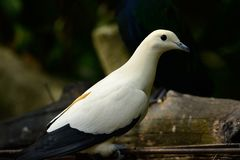 Pie Imperial Pigeon Ducula bicolor. Beautiful Pie Imperial Pigeon Ducula bicolor standing on branch Stock Images