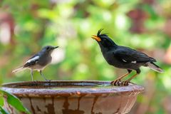 Pie orientale masculine Robin regardant l'eau Blanc-exhal?e de drinkg de Myna de la cuvette d'argile de l'eau photo stock