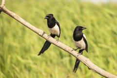 Pie, pica de pica l'oiseau effronté photo libre de droits