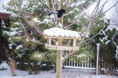 Pie sur la branche gelée mangeant la graine du conducteur en bois d'oiseau en hiver Photographie stock libre de droits