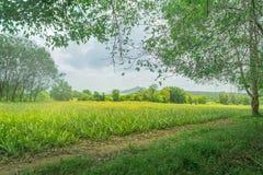 Pieapple-Garten gestaltet Ansicht landschaftlich stockbild