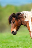 Piebald bay horse Stock Photo