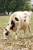 Piebald cow Royalty Free Stock Photos