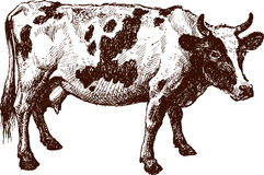 Piebald cow. The vector drawing of a cow in style of a sketch Stock Photography
