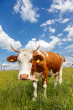 Piebald cow on the field Stock Photo