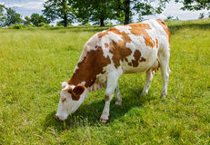 Piebald cow grazing on the field Royalty Free Stock Image