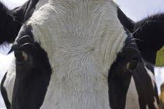Piebald cow head Stock Photo