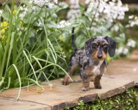 Piebald Doxie in garden on flagstone. Dapple wire-haired dachshund with gray and black and tan markings looking serious standing on a rock wall with yellow and royalty free stock photo