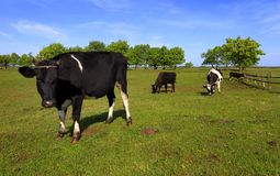 Piebald farm milk cows on a pasture Royalty Free Stock Images